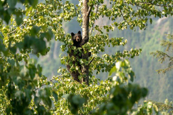 Auch Bäume sind nicht sicher von Bären