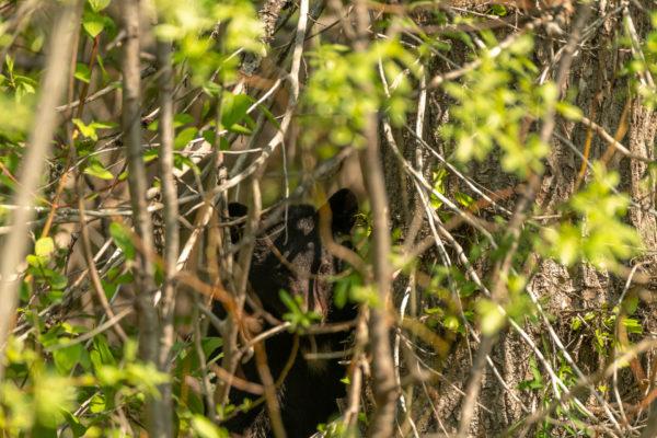 Versteckspiel mit Schwarzbären [Ursus americanus ]