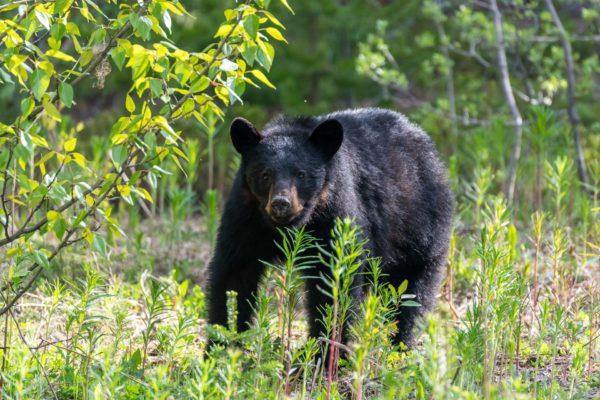 Schwarzbär [Ursus americanus ]