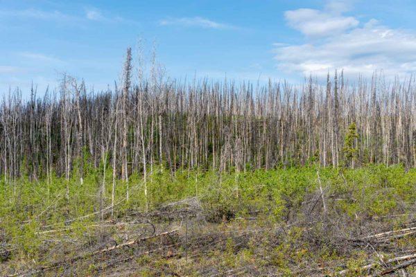Ehemalige Waldbrandgebiete sieht man immer wieder
