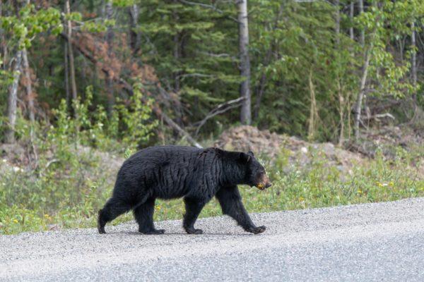 Unser letzter Schwarzbär [Ursus americanus ] auf dem Cassiar Highway