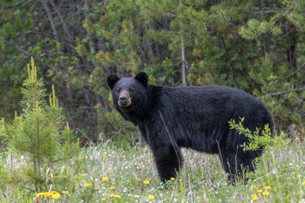 Schwarzbär [Ursus americanus]