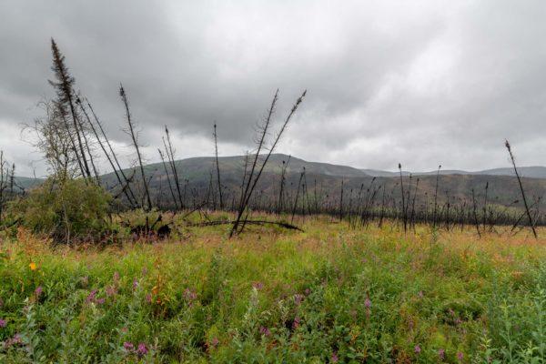 Schwarze Bäume als überreste nach dem Waldbrand