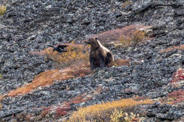 Braunbär wird von einem Rab angegriffen