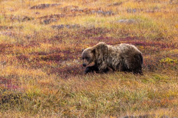 Grizzly Bär [Ursus arctos]