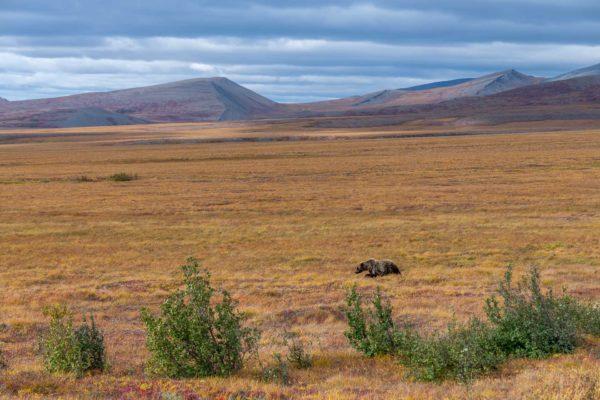 Grizzly Bär [Ursus arctos] in der Tundra