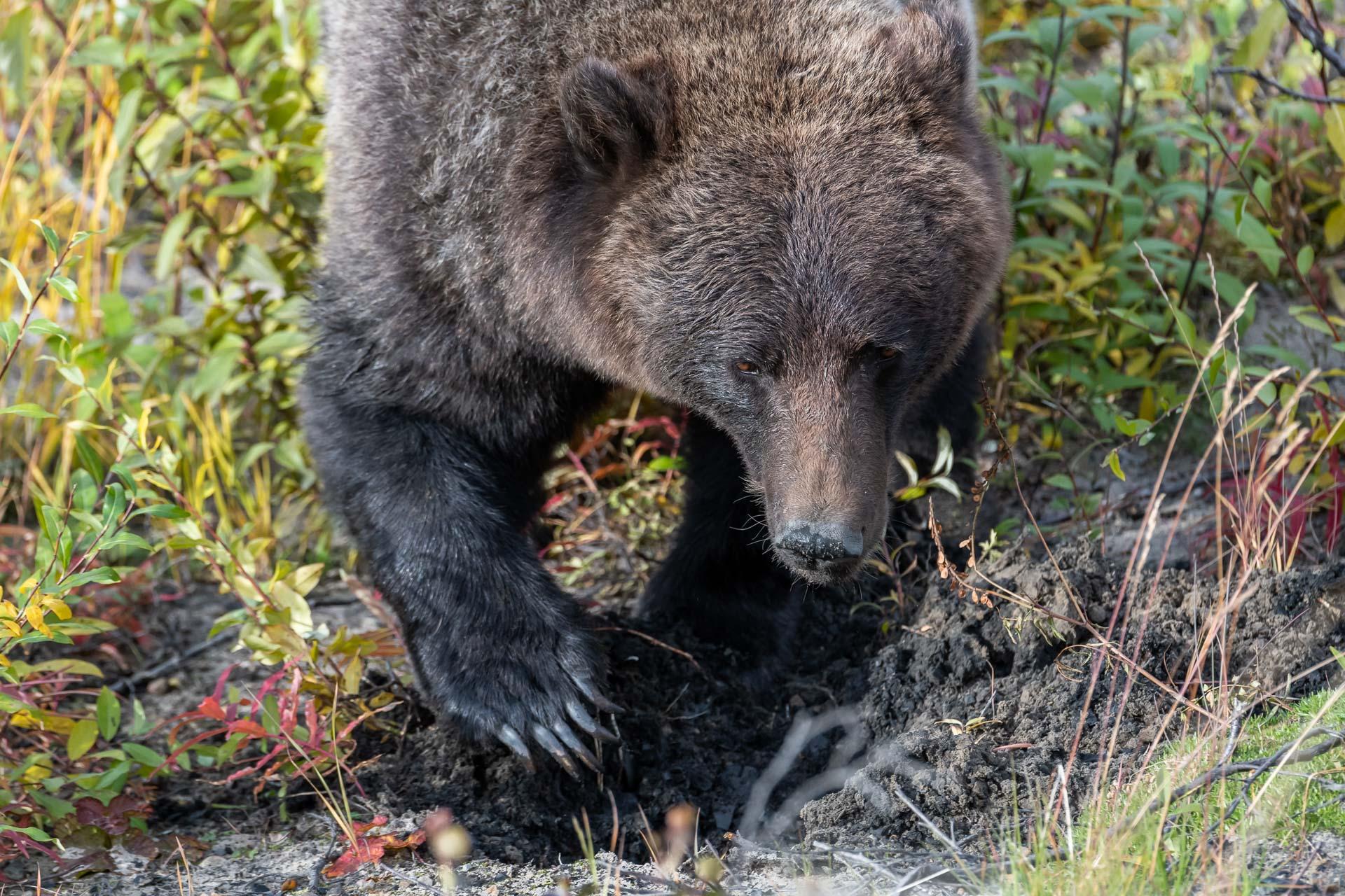 Grizzly Bär [Ursus arctos] gräbt nach Wurzeln