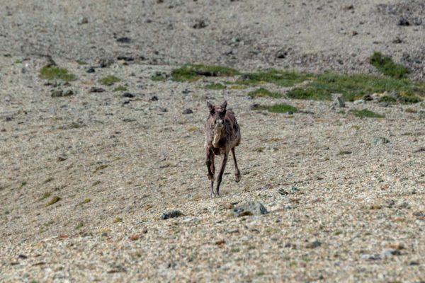 Das Karibu [Rangifer tarandus] rennt gerade auf mich zu