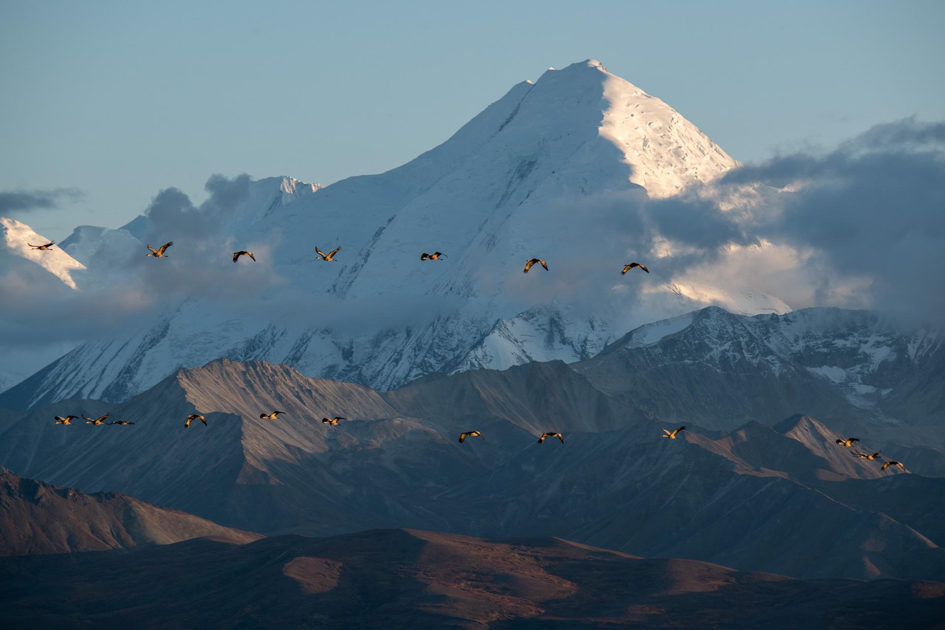 Alaska Range und Kanada Kranich [Grus canadensis]
