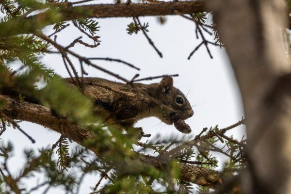 Rothörnchen [Tamiasciurus hudsonicus]