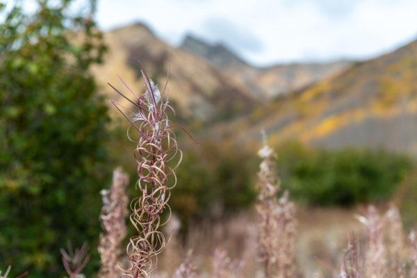 Die Schmalblättriges Weidenröschen [Epilobium angustifolium] sind verblüht