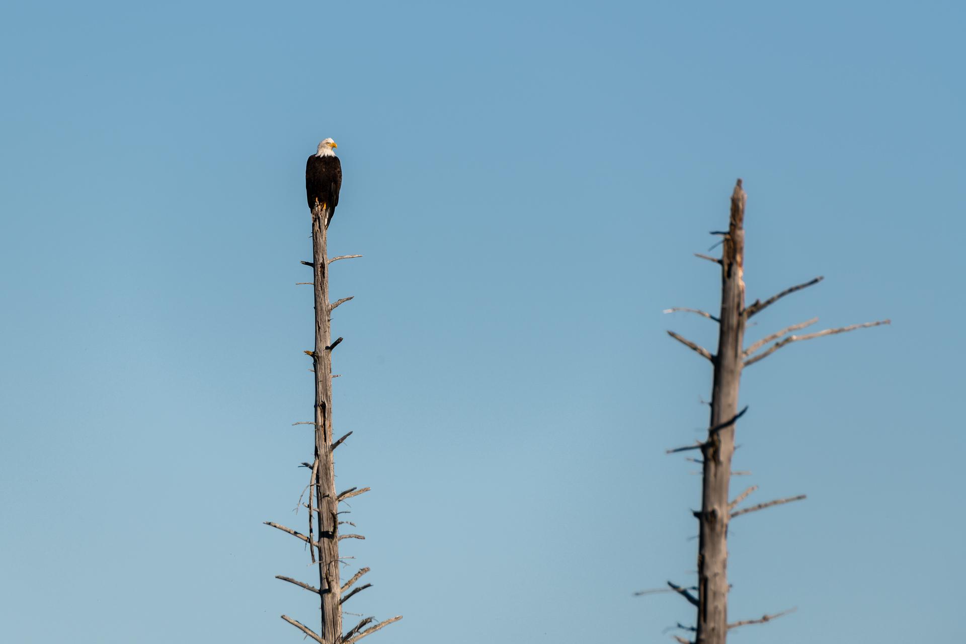 Weisskopfseeadler [Haliaeetus leucocephalus]