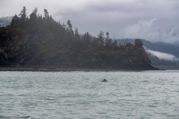 Schweinswale [Phocoenidae]