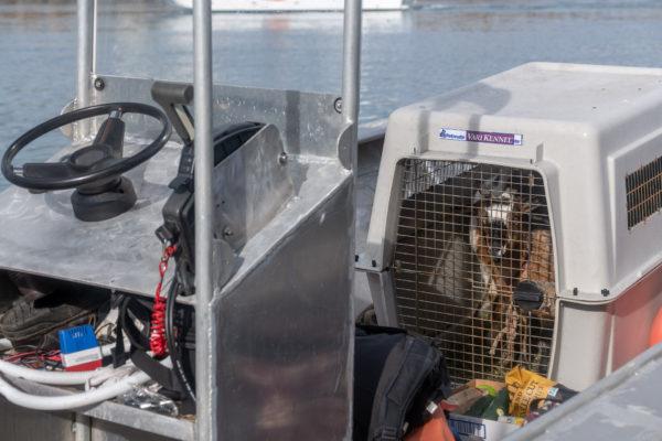 Die Ziegen sind bereit für die Überfahrt