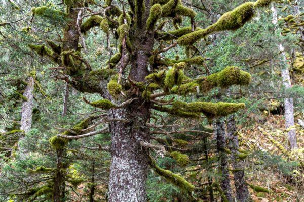 Regenwald in Alaska