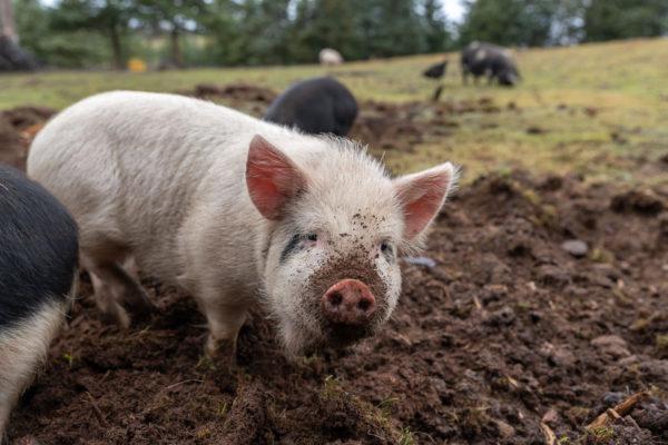 Eines der jungen Schweine