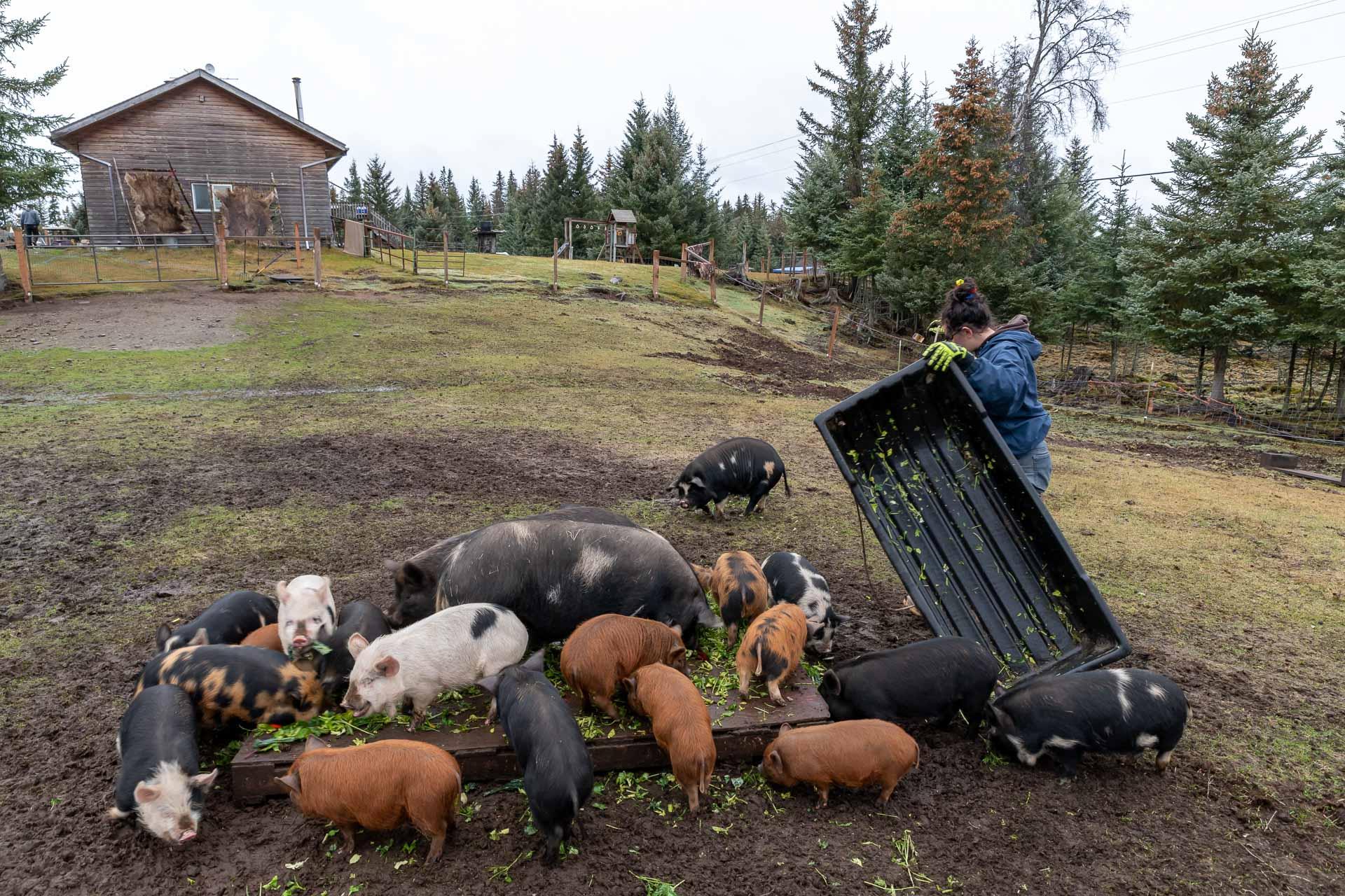 Fütterung der Schweine