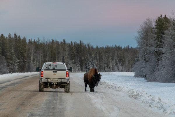 Bison auf dem Alaska Highway
