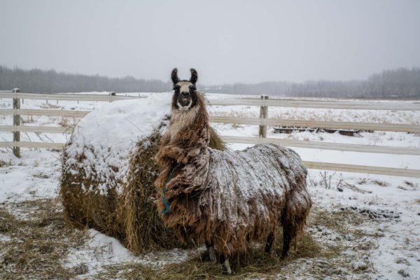 Auch hier gibt es wieder ein Lama