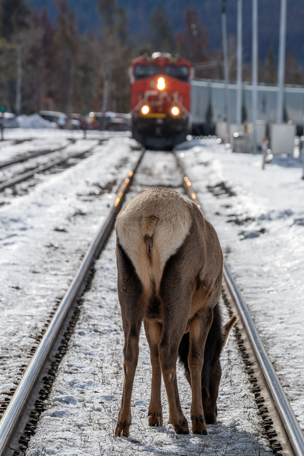 Wapiti [Cervus canadensis] auf den Bahngleisen in Jasper