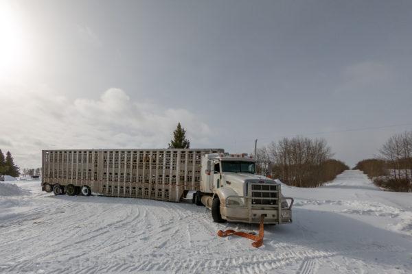 Festgefahrener Viehtransporter