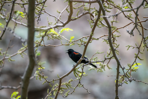 Rotflügelstärling [Agelaius phoeniceus]