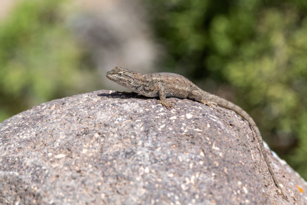 Tree Lizard [Urosaurus ornatus]