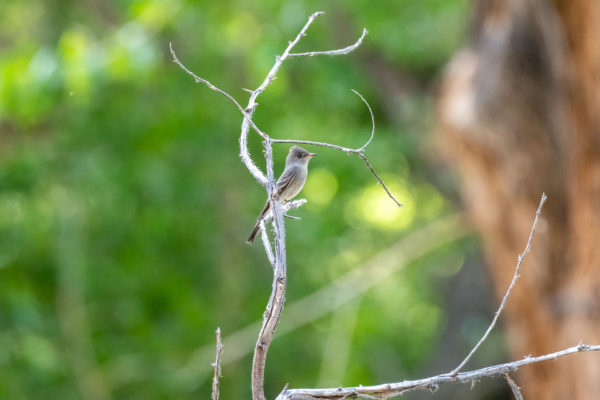 Willow Flycatcher [Empidonax traillii]