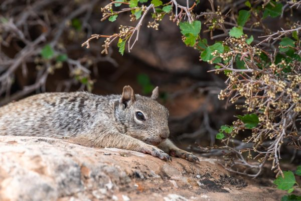 Rock Squirrel [Spermophilus variegatus]