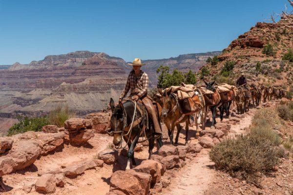 Maultiere auf dem Kaibab Trail