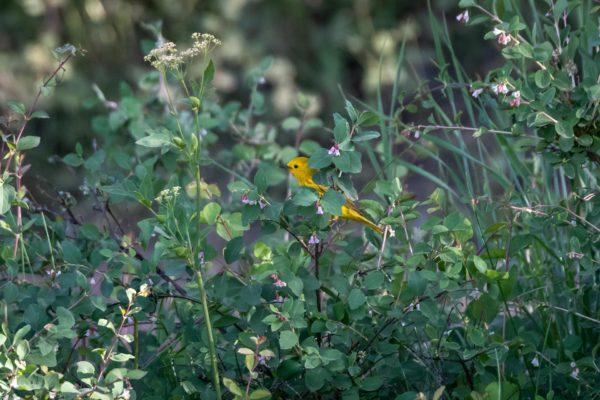 Goldwaldsänger [Setophaga petechia]