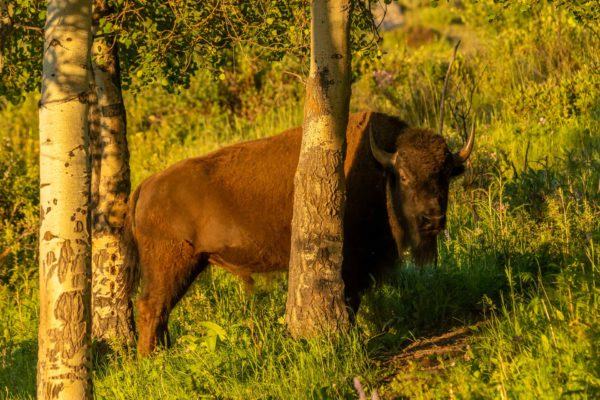 Bison [Bos bison]