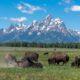 Bison [Bos bison] vor dem Grand Teton