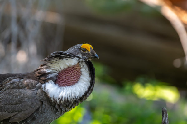 Felsengebirgshuhn, Dusky Grouse [Dendragapus obscurus]
