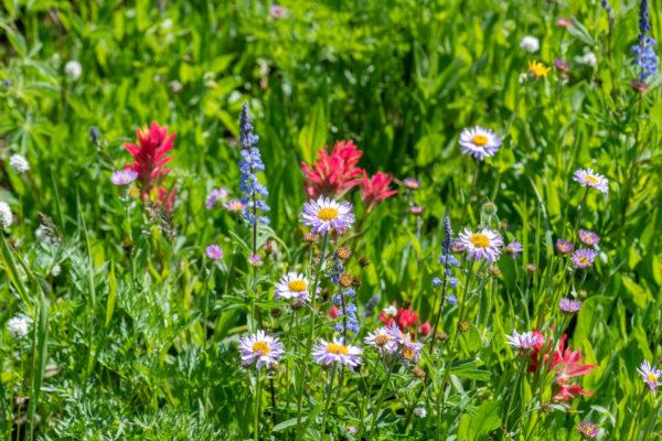 Die Bergwiesen sind in voller Blüte