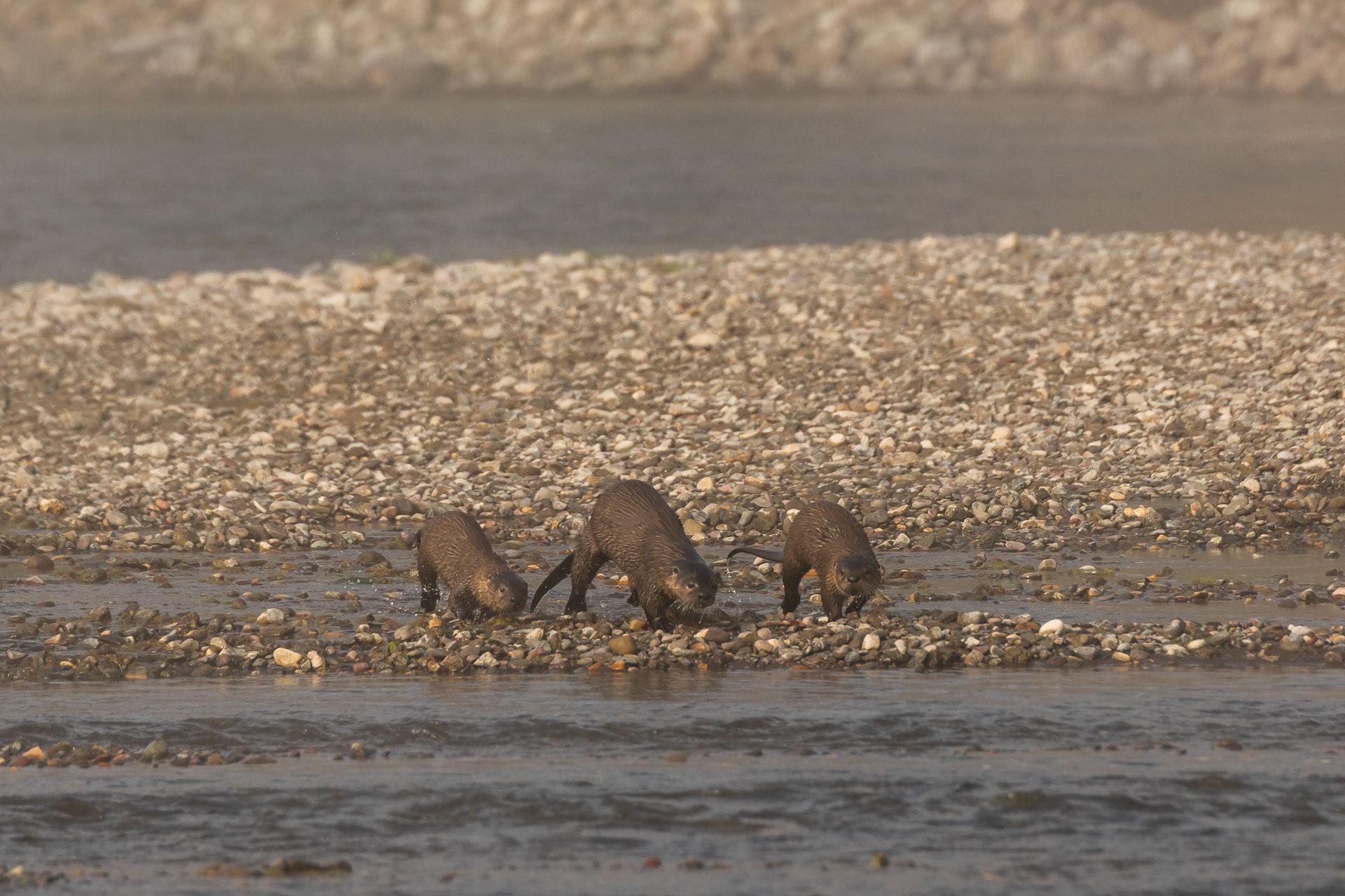 Flussotter [Lutra canadensis]