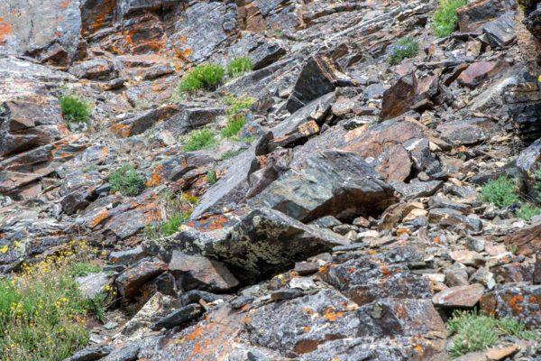Gelbbauchmurmeltier [Marmota flaviventris]