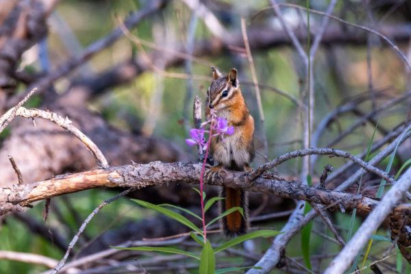 Rotschwanz-Streifenhörnchen, Red-tailed chipmunk [Tamias ruficaudus]